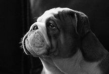 English Bulldogs / Our favorite dog breed. I am proud to be able to have two Bulls