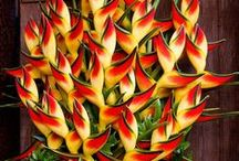Flores  - meu amor! / Lavanda, sempre viva, coléu, strelitzia, flor de cera, jasmim manga, flor do deserto, jade, jasmim, sapatinho de judia, lanterna chinesa, brinco de princesa, heliconia, capuchinha / by Claudia Leusin