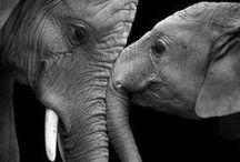 Elephants / One of my favorite animals
