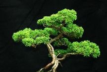 Bonsai / exquisitely beautiful, these small trees and a wealth into your home