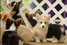 For the love of Corgis