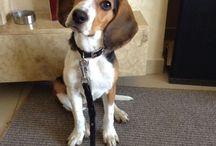 Beagle fun