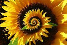 Fibonacci: Math in Nature & Art / by Lynne Atchison