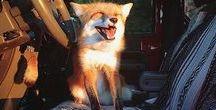 Fox lover / Amor por raposas