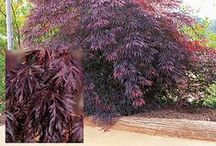 Top10 Purple Foliage / Love Purple Foliage ? Check out these beauties