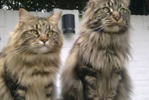 Maine coons / Maine coon