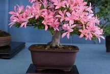 Bonsai <3 / #Japanese Art form Bonsai, #Penjing / by Vidya/Sony Paladugu