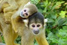 Aepkes Monkey