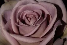 Beauty of the Rose / Roses the most beautiful of all flowers.