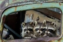 raccoon Reni