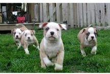 American Bulldogs / Pictures of American Bulldogs.