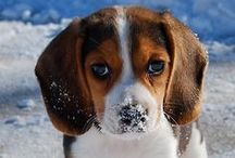 Beagles / Pictures of Beagles.
