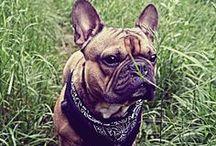 BOTOX the french bulldog / Photos of our cute dog-Botox