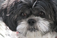 """Furry Friends / Alfie - the """"cover dog"""" for this board is my own darling boy.  Lulu is his """"companion in cuteness"""".  Both started their lives in puppy mills but were fortunate to be rescued by wonderful organizations dedicated to the well being of helpless animals.  Both are as sweet and loving as you could wish for.  Please, if you want a pet consider adopting a rescue!  You won't regret it because they never forget who gave them their loving forever home. / by Lynda Pitman"""