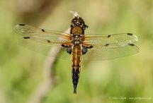 Wildlife - Dragonflies & Damselflies / Photos of Dragonflies & Damselflies from the UK