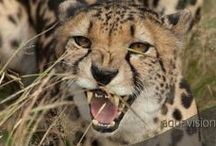 Wild Danger / Showing the wild and dangerous predators of the animal kingdom.