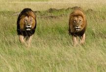 African Wildlife / From the big to the little five, Africa is home to some of the most amazing animals on the planet.