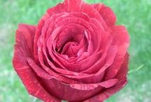 National Rose Month 2015 / Showcasing various rose varieties to celebrate National Rose Month 2015.