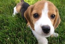 I ❤️ beagles!!!!!!