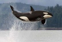 Orca / The one and only dream pet that I ever wanted to own
