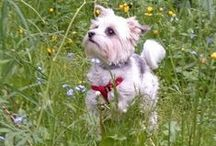 my life * Yorkshire Terrier