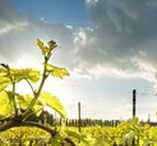 Organic Winery   Vineyards / Our vineyards through every changing and ripening.