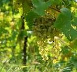 Organic Winery   Prosecco harvest
