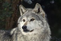 Animals ~ Wolves / by Carroll Wilson