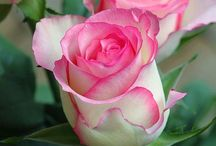 Flowers ~ Roses / by Carroll Wilson