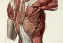 Anatomie artistique / Anatomical illustrations