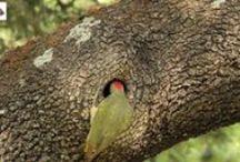 Fotografia desde Hide de Pito Real y otras aves forestales / Hide portátiles  cerca de zonas frecuentadas por especies como el pito real, arrendajo o el pico picapinos.