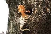 Hide Abubillas / Descubre el nuevo hide para disfrutar de las aves más emblemáticas de la dehesa en sierra Morena