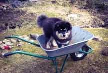 My Finnish Lapphunds