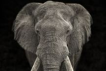 Elephants / My favourite animal
