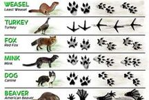 Animals / Animals one might come across in the wild and how to identify tracks.