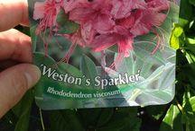 Rodondendrons en azalea's / Planten