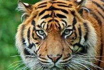 Tigers / by Top Pinterest Animals