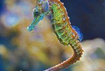 seahorse / kouzelní mořští koníci