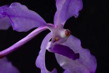 Purple & Blue Orchids / AmysOrchids.com