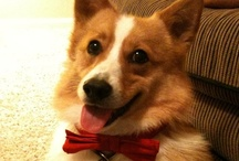 Crazy for Corgis
