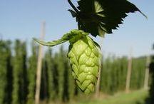 Hoppy Goodness / Beer hops gardens, growing tips, hops varieties. #beer #hops #garden