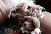 Airedale Dogs / Airedale Dogs - 100 + reasons to love and ways to spoil Man's Best Friend