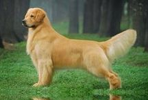 Golden Retriever / 100+ Reasons to Love and Ways to Spoil your Golden Boy/Girl