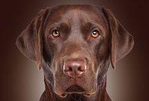 Labrador Retriever / 100+ Reasons and Ways to Love & Spoil your Labrador