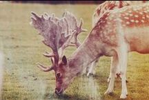 .deer obsession