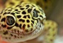 Leopard Gecko Articles / Leopard gecko care articles from www.leopardgeckos.co.za