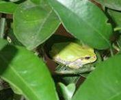['w'] frog(カエル )  小さな生き物たち(^^)/ / ['w'] 世界の アマガエル(tree frog/green frog)