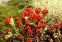 ['w'] moss(苔)・lichen(地衣類)ーMycetozoa(変形菌類) / ['w'] 蘚苔類  粘菌類(変形菌) 苔盆栽など