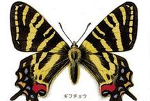 ['w'] butterflies(蝶) / moss(蛾 ) / ['w'] 世界の蝶や蛾の絵 写真