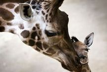 Giraffe / I love Giraffes! / by Deborah Griffiths